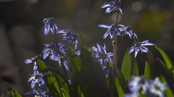 Modrá jarní květiny zahradní hmyzu makra podsvícený sluneční