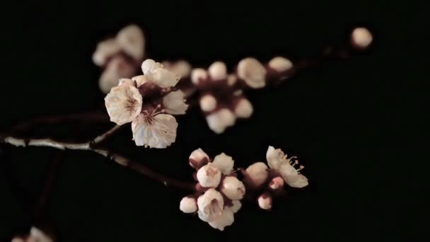 Květiny Meruňka pomalu odhalil na tmavém pozadí, Close-Up, Taymlaps