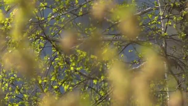 Mladé listy bříz a javory na jaře