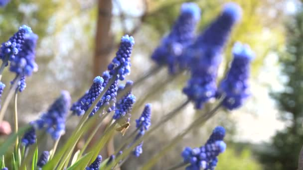 Bees Pollinating Flowers Muscari. Sunny Day in the Garden.
