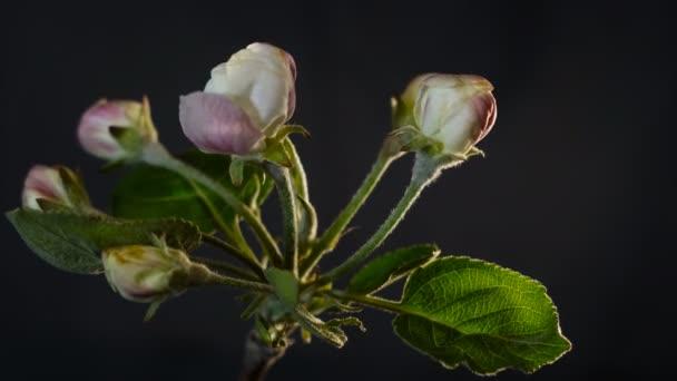 Apple květ květiny uzavřít Taymlaps