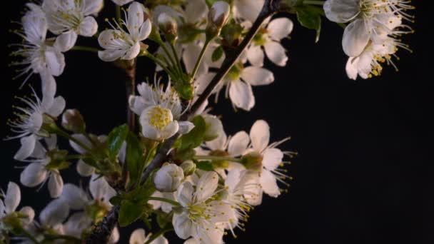 Taymlaps Cherry Blossom virág egy fekete háttér