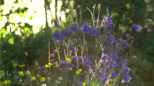 Podsvícený sluneční květiny Aquilegia modrá zahrada