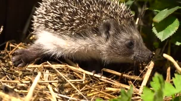 Young Hedgehog in the Bush Garden Roses