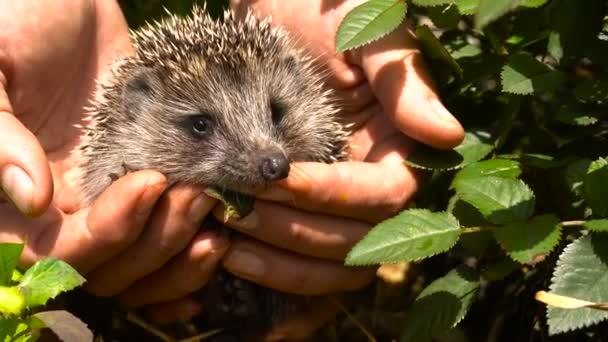 Young Hedgehog in the Hands of Women