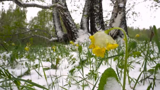 Havas tavaszi rét, sárga virágok