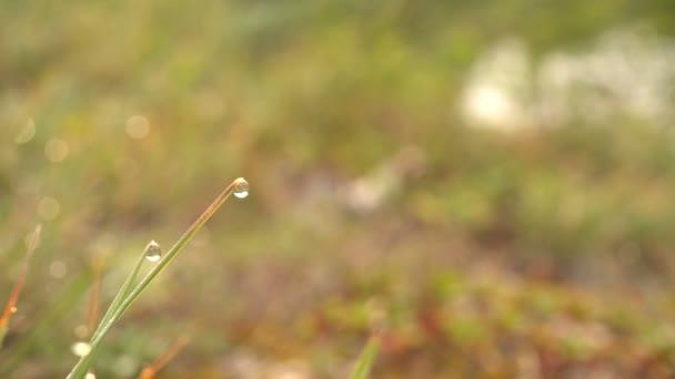 Kapky rosy na stéblech trávy na pozadí zelené louky