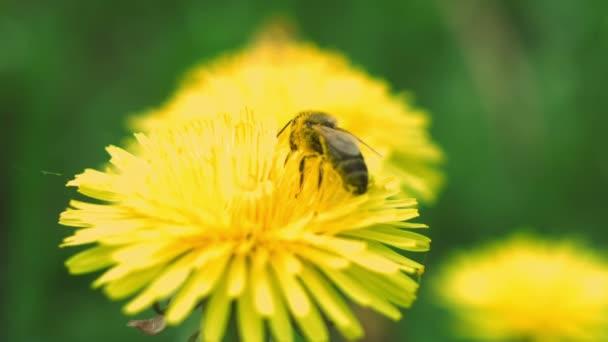 bee flies from dandelion