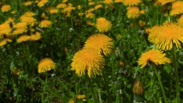 panoramma na Pampeliška květin