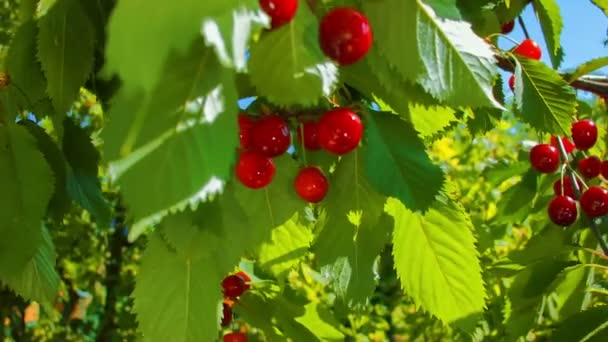 hand plucks ripe cherries from the tree