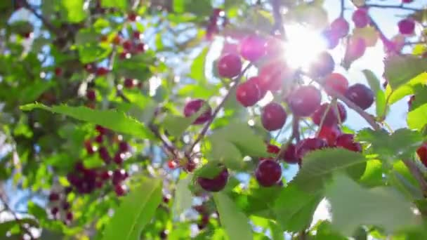 sunbeam shining through branch of ripe cherries on a background of blue sky