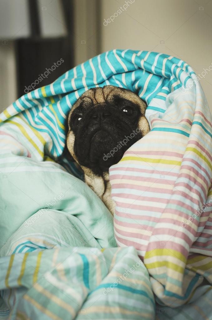 Картинки красивые с мопсами в одеяле на рельсах, чашки кофе