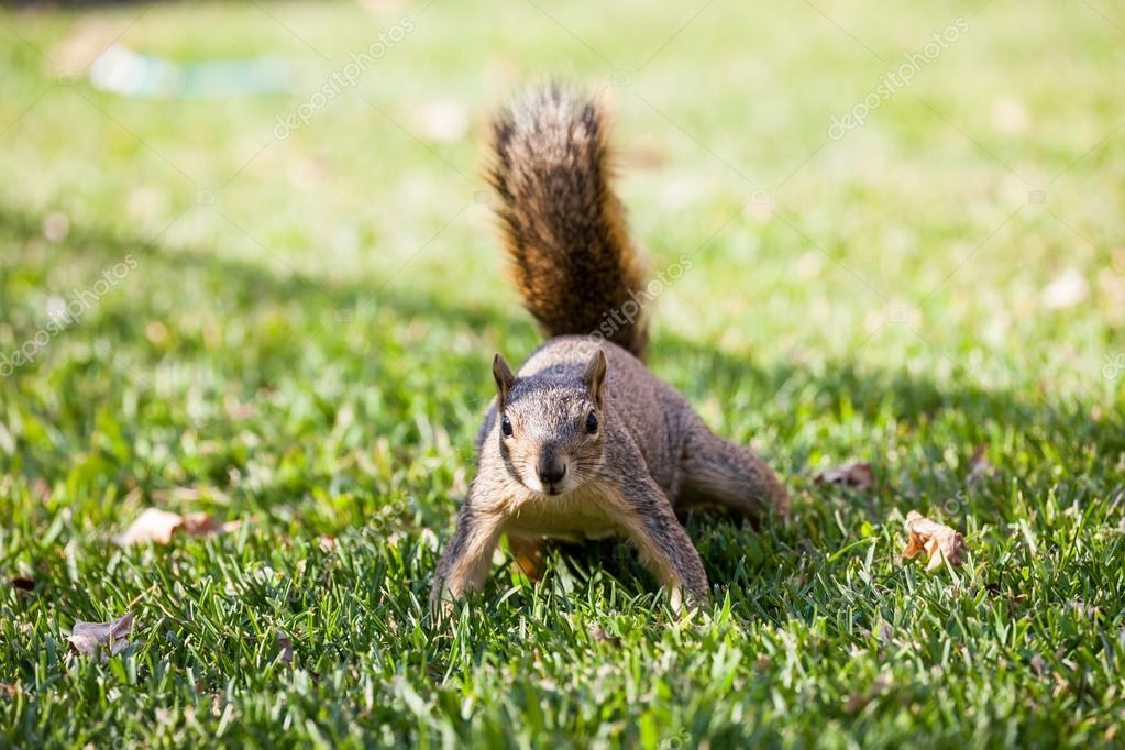Squirrel on a meadow