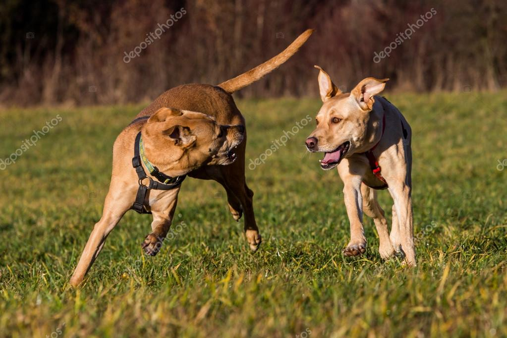 Brown mixed shelter dogs