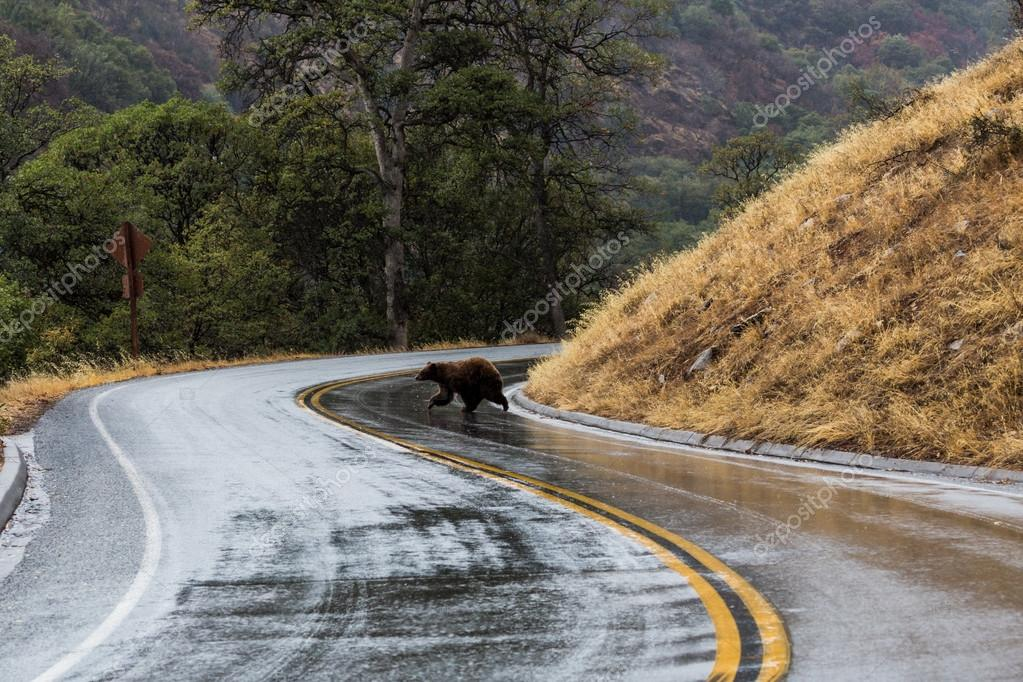 Bear walking through the road in Sequoia National Park, California