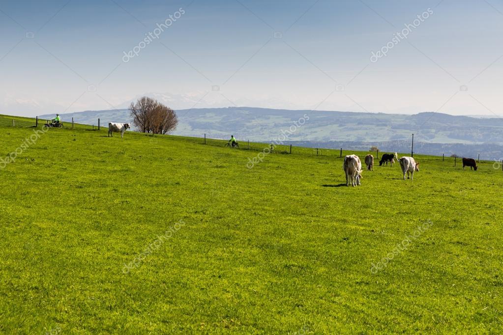 Swiss cows on meadow, Aargau, Switzerland