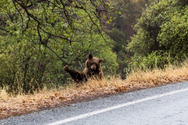 Bear in Sequoia National Park, California