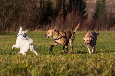 Brown mixed shelter dogs outside