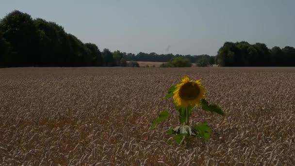 Samotné slunečnice v pšeničné pole