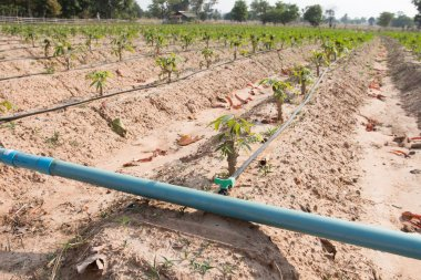 cassava, manioc. tapioca field growing with drip irrigation system in the countryside