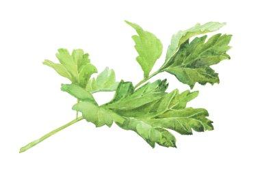 Parsley. Watercolor herbs
