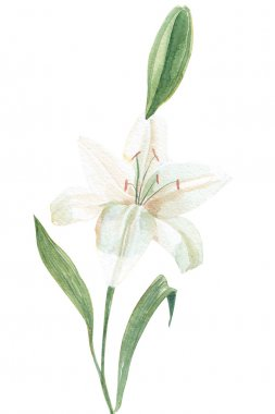 260_White lily watercolor illustration