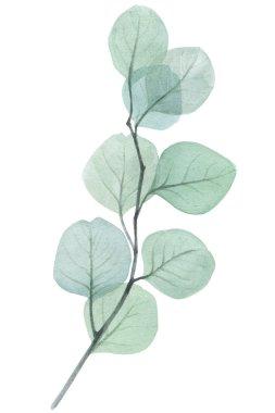 eucalyptus twig watercolor illustration