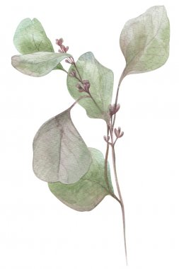watercolor illustration eucalyptus
