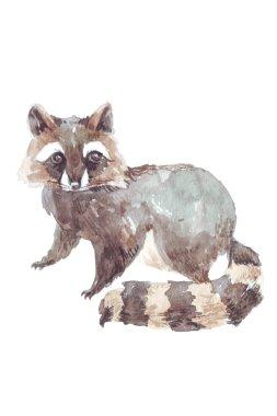 watercolor illustration raccoon