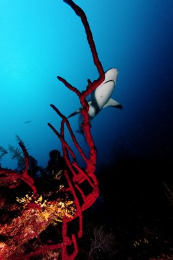 Shark, underwater picture