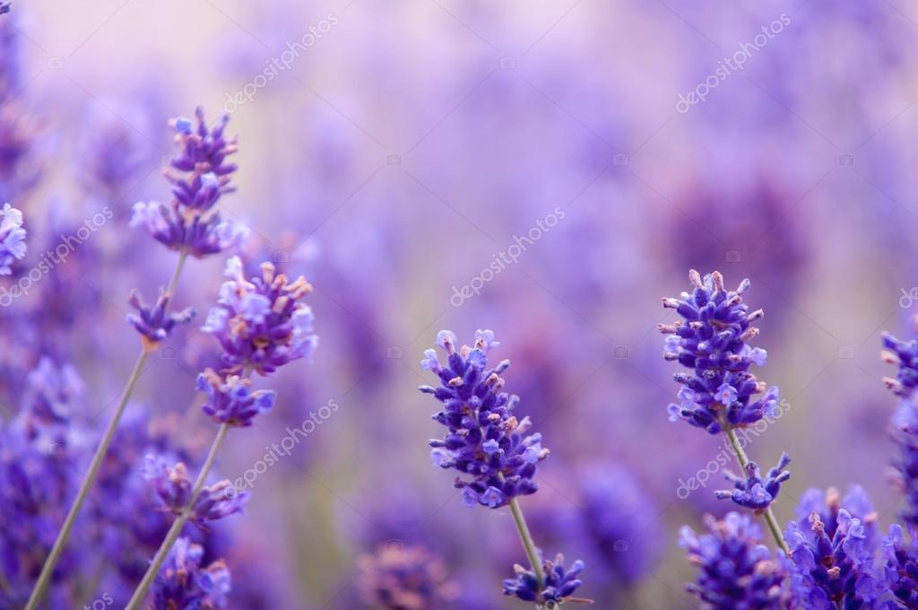 Lavanda Flor De Aspecto Natural De Las Flores Lavanda Lavandula