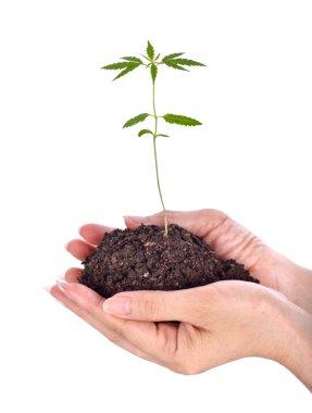 seedlings cannabis on hands