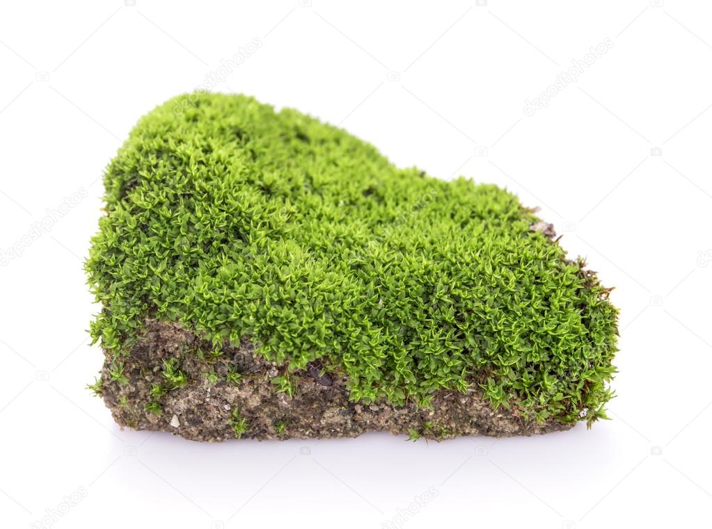 Green moss grow on soil on white background