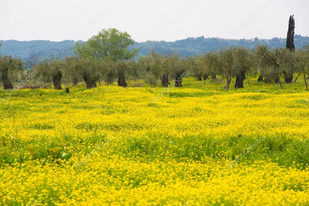 Ulivi secolari e prato di fiori gialli — Foto Stock © foto-pixel ...