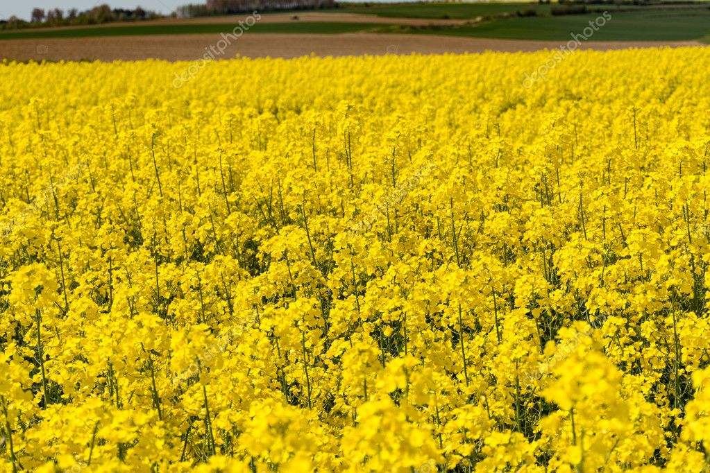 Cultivated yellow raps field in France