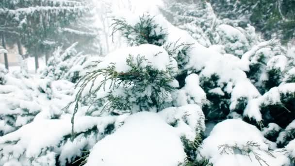 Heavy Snow Falls Around a Blue Spruce Pine Tree