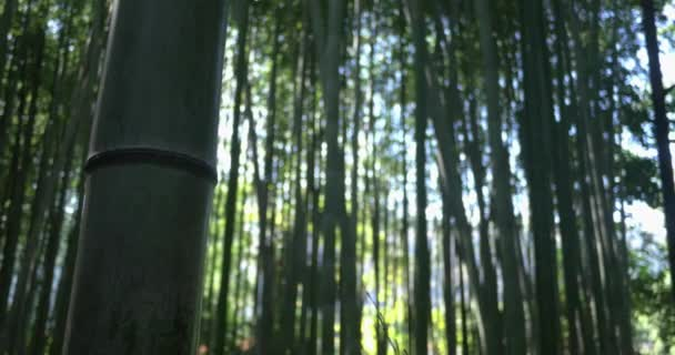 Bamboo forest in Kyoto Japan pull focus