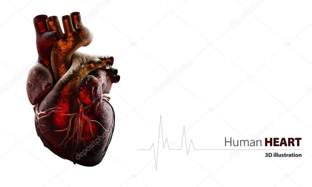Anatomía del corazón humano aislado en blanco — Fotos de Stock ...