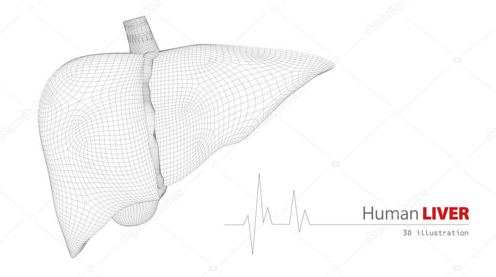 Anatomía del hígado humano sobre fondo blanco — Fotos de Stock ...