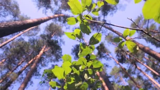 Epické les. Pohled zdola od zelené stromy s listy a sluneční paprsky