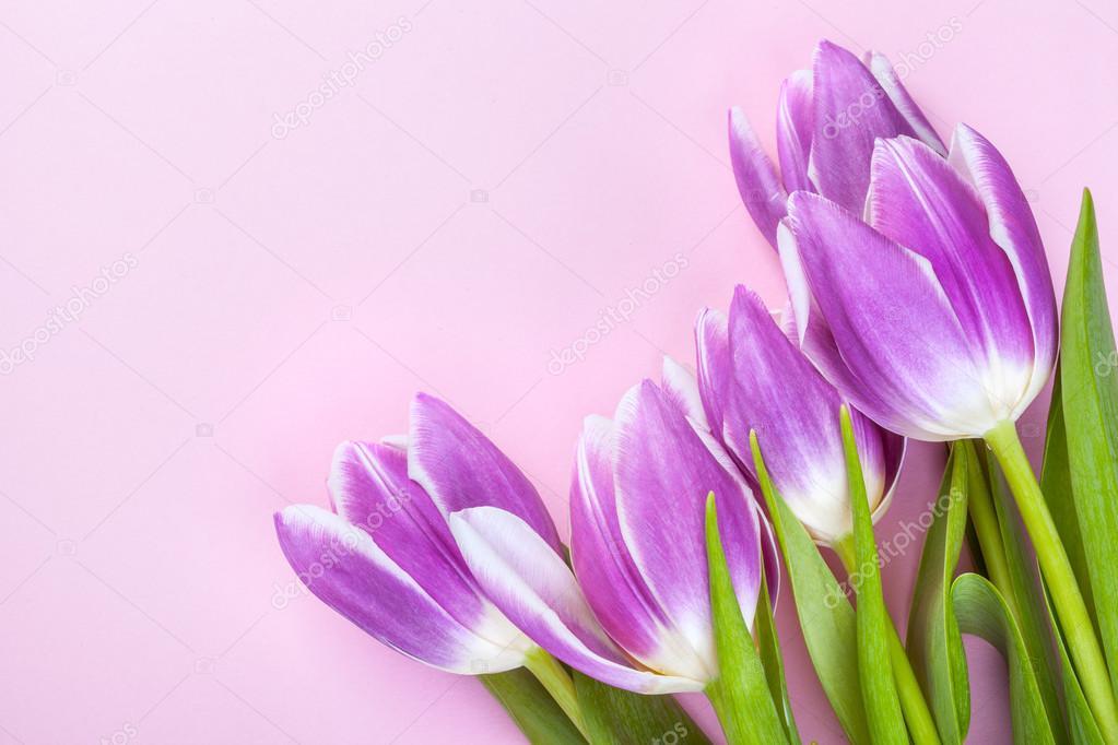 lila tulpen auf rosa hintergrund stockfoto lvssvl1 105857452. Black Bedroom Furniture Sets. Home Design Ideas