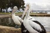 Pelikáni v blízkosti vody