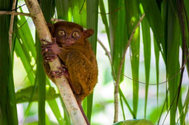 Philippine tarsier is a species of tarsier endemic to the Philippines