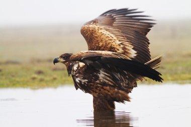 Sea eagle in lake
