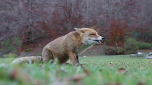 Fox in wood in autumn