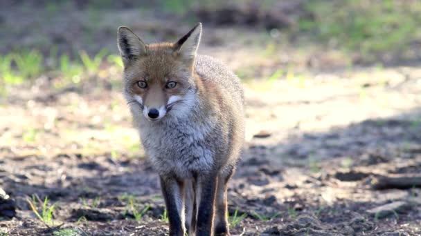 Fox in Tuscany