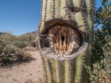 Cactus with Gunshot Wound