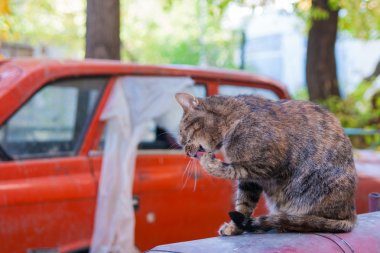 cat washes on the background of an old car