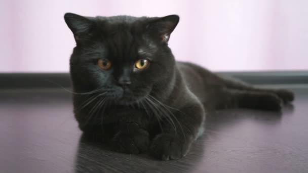 Negro Con Para Juguete Ojos Naranja Un De Gato Huns Británico Los 9eYbEHIWD2