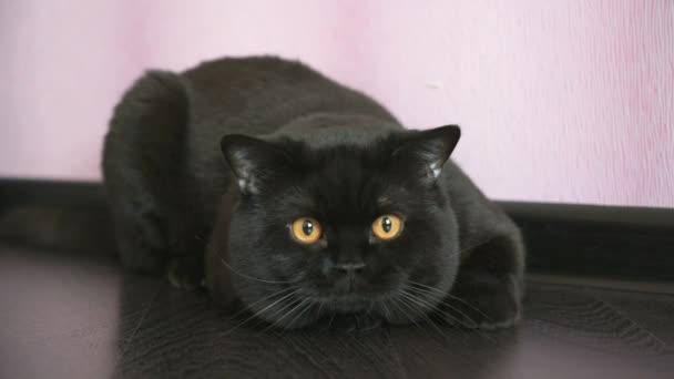 Narancsszínű szeme hunok egy játék fekete brit macska